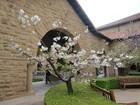 スタンホード大学の八重桜