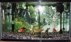 錦鯉の飼育鑑賞